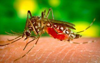 mosquito japones